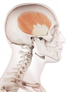 medically accurate muscle illustration of the temporalis